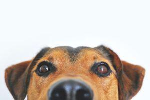 hund-øjne